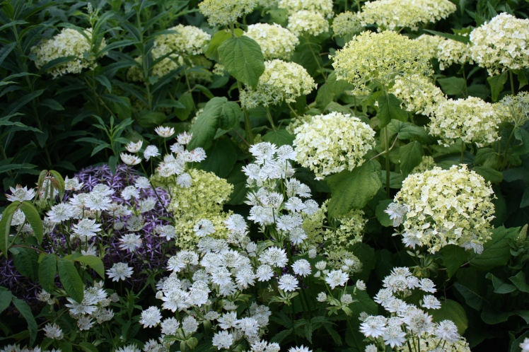 A lovely combination of astrantia with Hydrangea arborescens