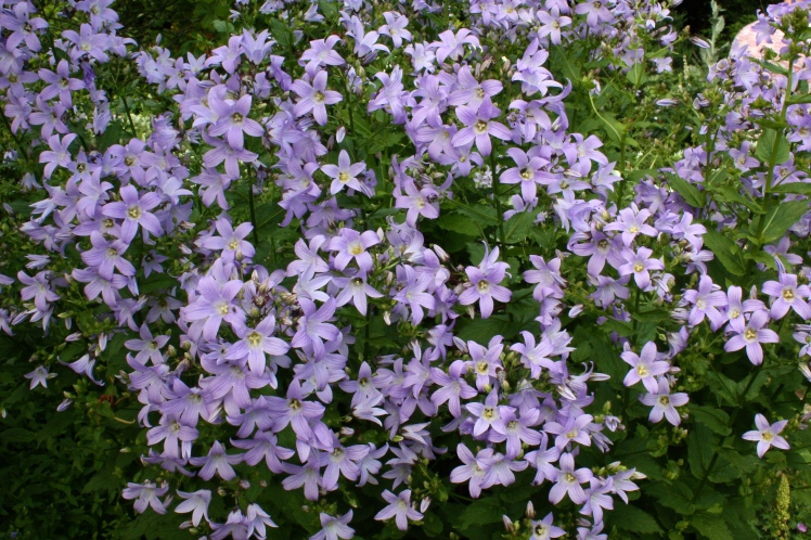 Campanula lactiflora. The Latin specific epithet 'lactiflora' means milk-white flowers.