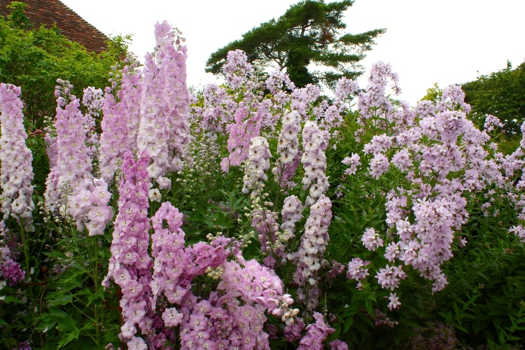 Campanula lactiflora 'Loddon Anna' combined  with a delphinium of the same shade at Old Bladbean Stud, Kent