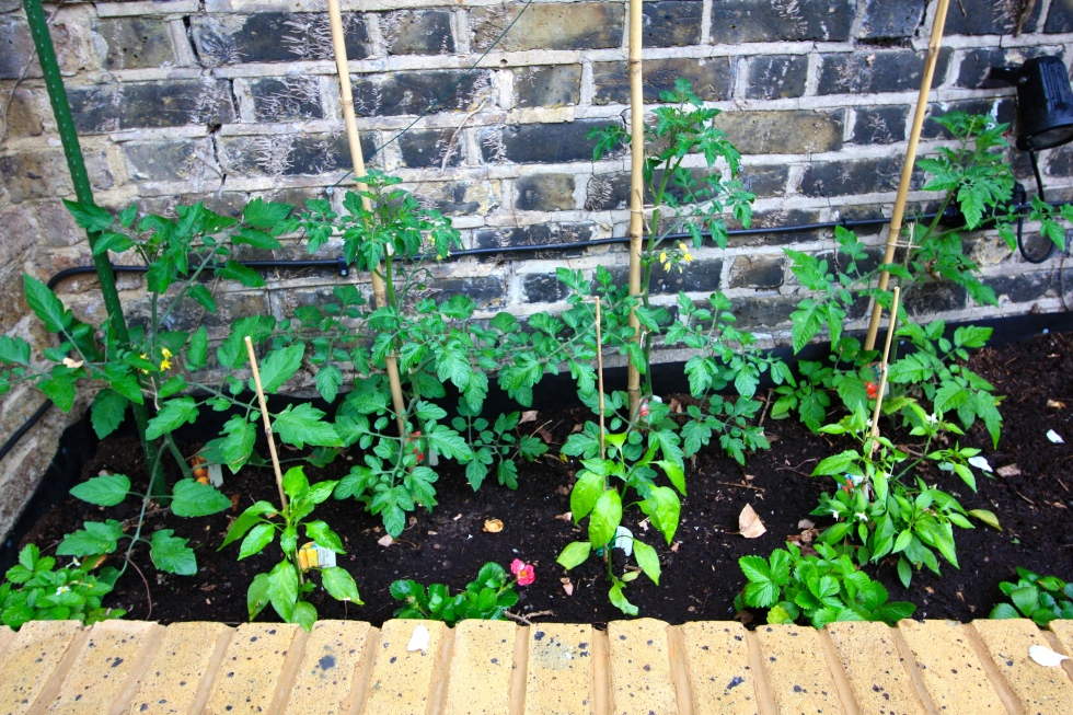 Tomatoes, peppers and strawberries occupy the sunniest, most sheltered spot