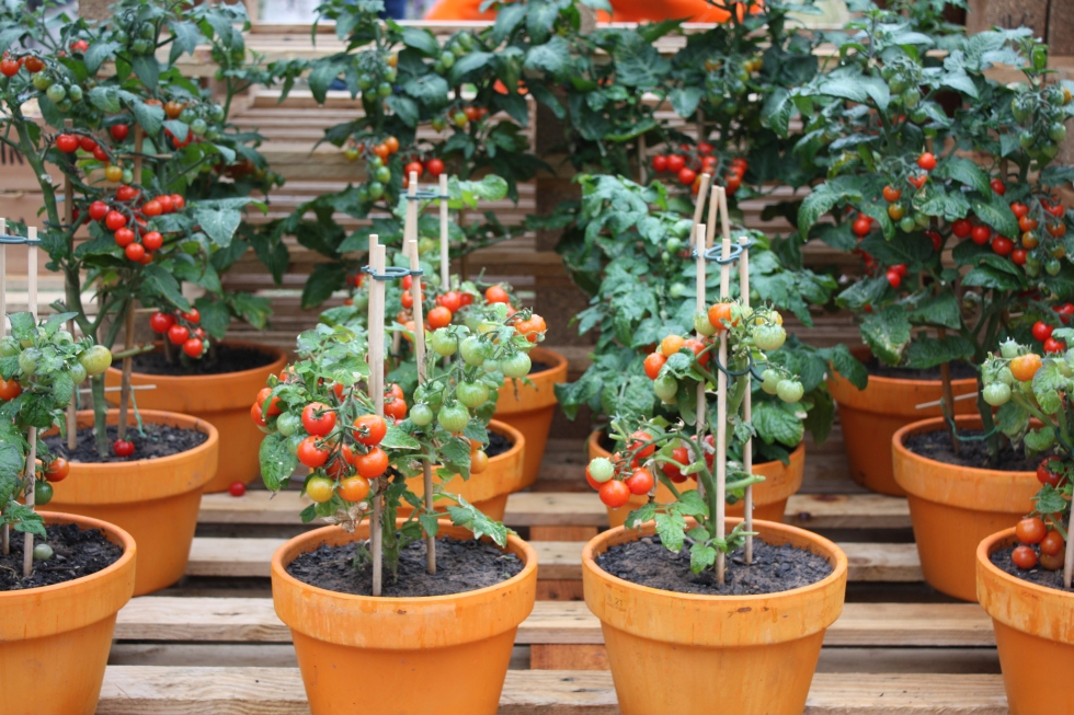 My new found interest in vegetable growing was piqued by these pot-grown cherry tomatoes
