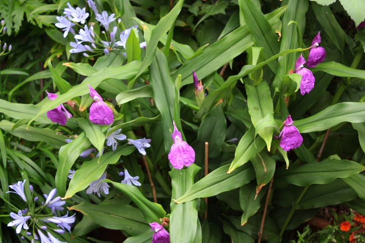Roscoea auriculata produces purple flowers from June until October but requires propping with small canes