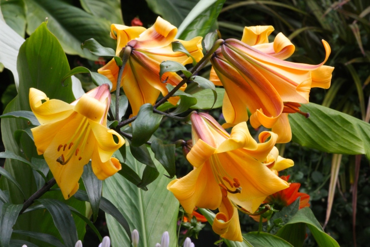 Lilium 'African Queen' holds court in her jungle kingdom