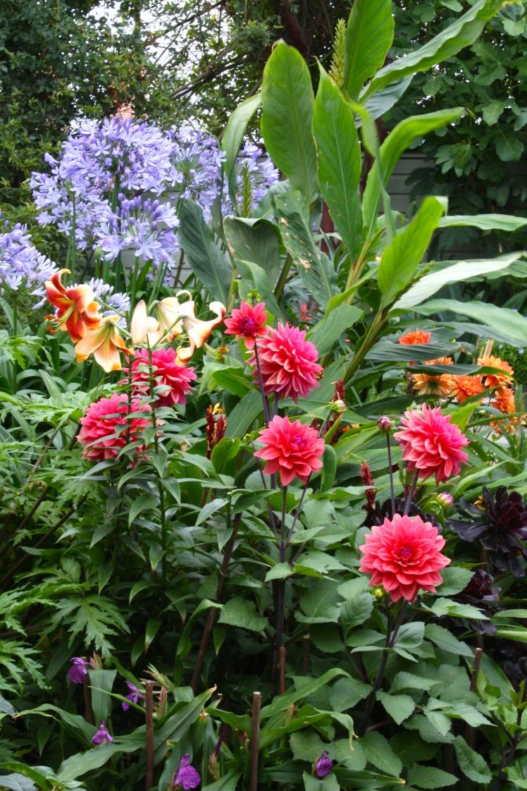 Agapanthus africanus and Dahlia 'Amercian Dawn'