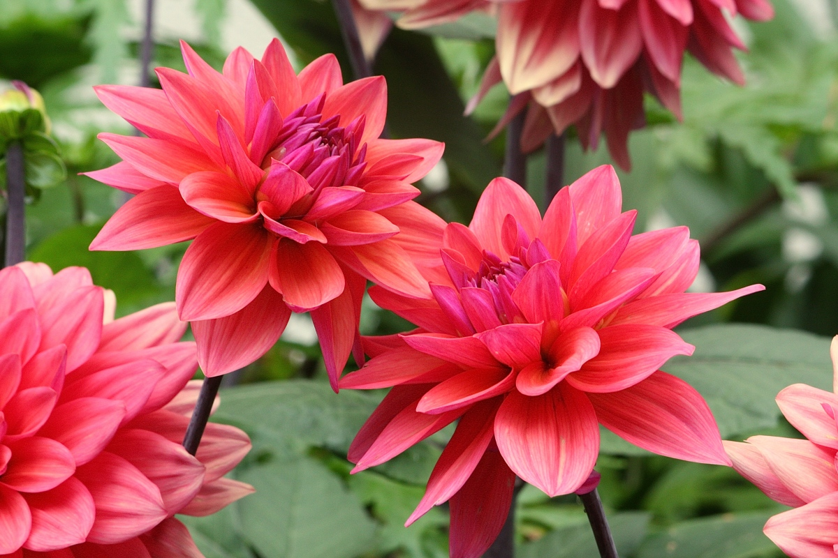 Early Riser >> Daily Flower Candy: Dahlia 'American Dawn' – The Frustrated Gardener