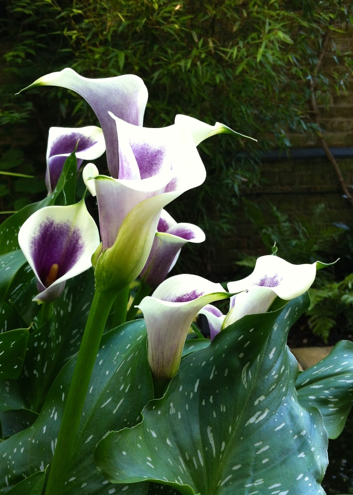 The elegant flowers of Zantedeschia 'Picasso' are perfect for cutting and last well indoors
