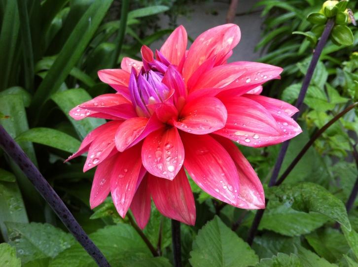 Early rays - raindrops embellish Dahlia 'American Dawn'