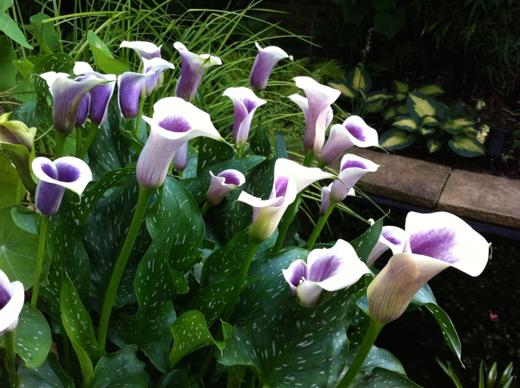 Zantedeschia 'Picasso', July 2014