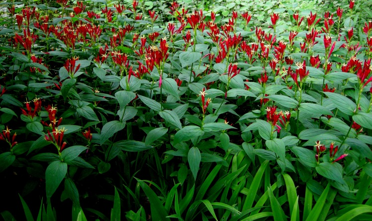 Spigelia marilandica carpeting the ground in Pennsylvania USA