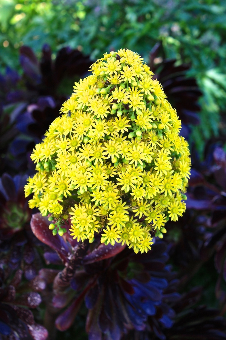Mature plants grown in mild gardens will produce panicles of golden yellow flowers