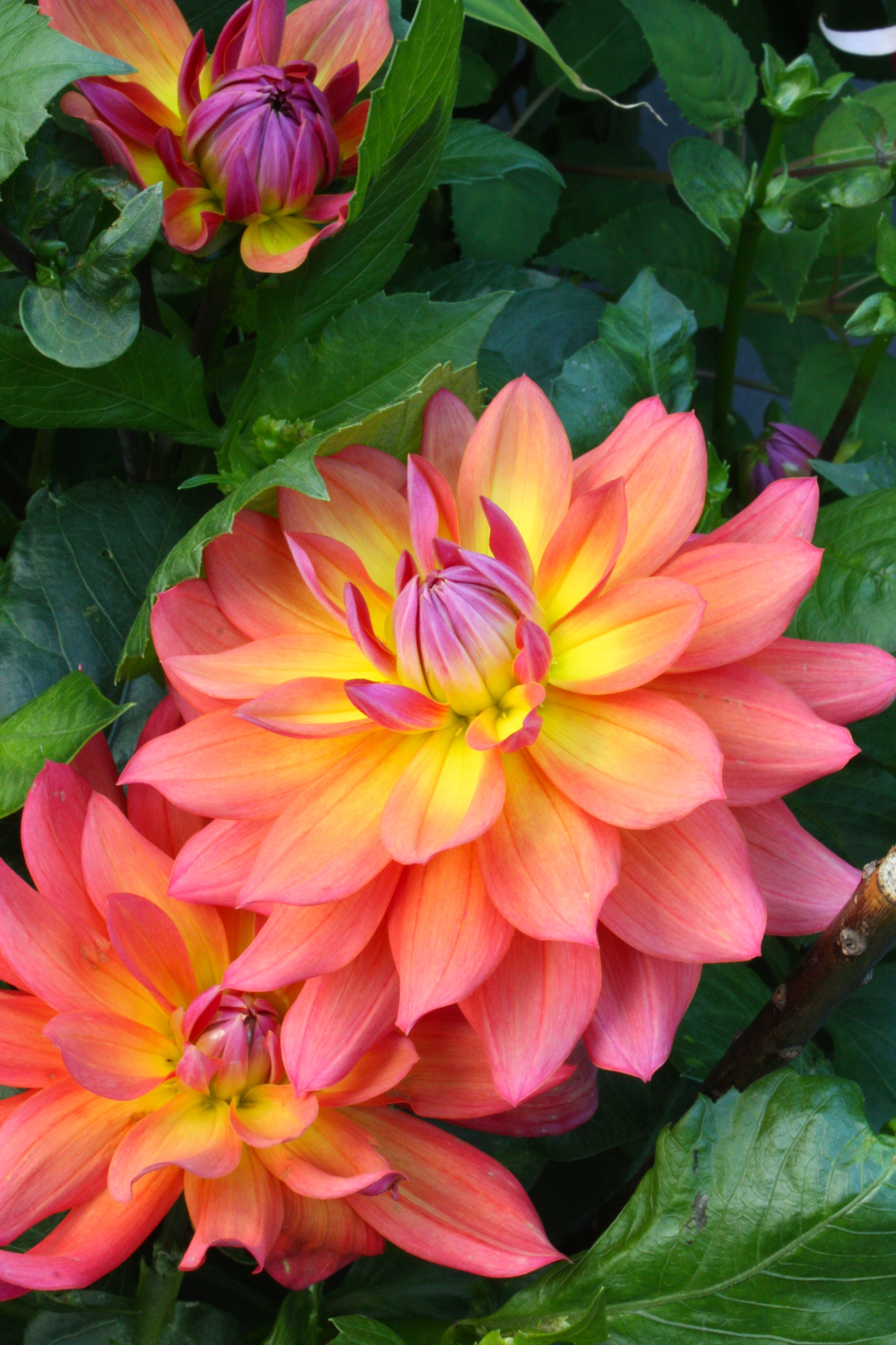 Daily Flower Candy Dahlia Firepot The Frustrated Gardener