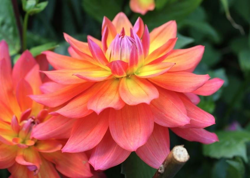 Dahlia Flowers in Pots Dahlia 'fire Pot' August 2014