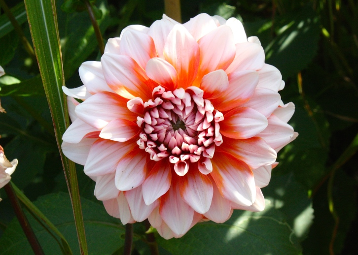 Dahlias like 'A La Mode' are very much in vogue
