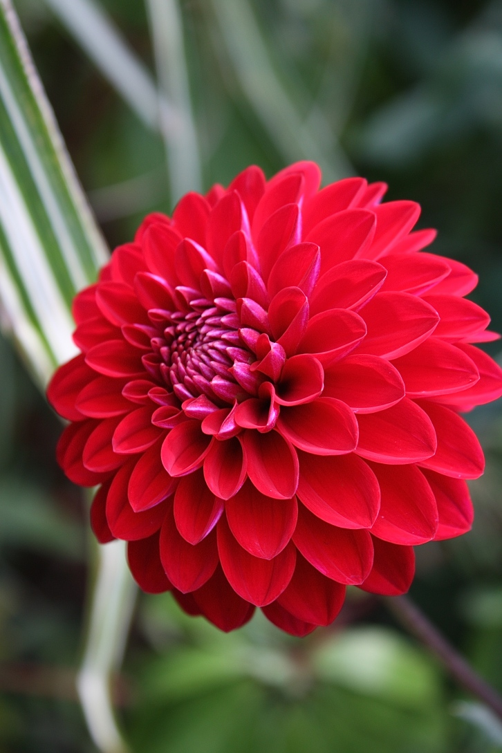 Not quite a pompon, this vermillion dahlia was the perfect choice for Great Dixter's Exotic Garden