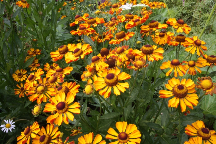 Even in hazy sunlight, Great Dixter's heleniums were dazzling