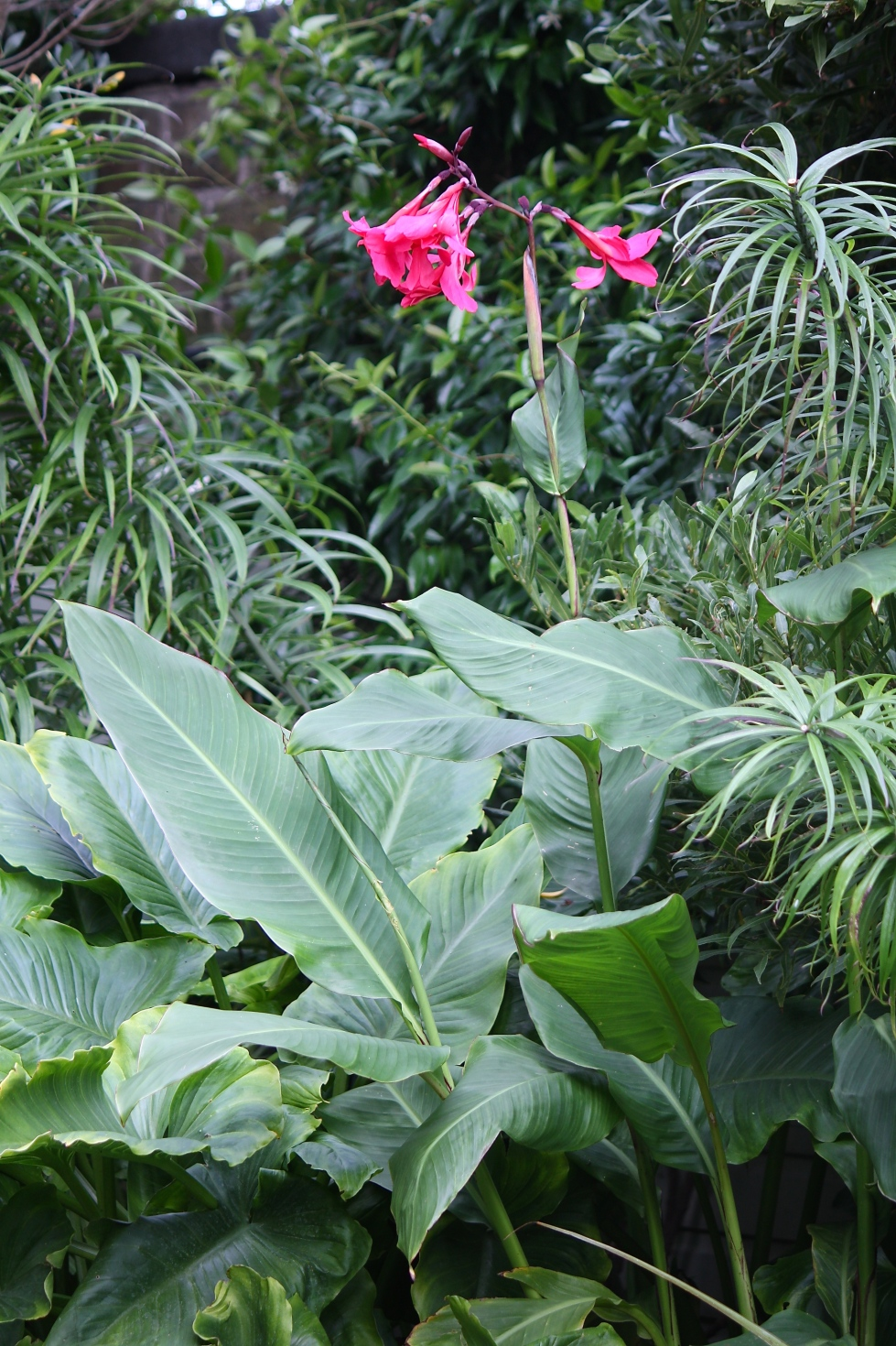 As the season progresses, the leaves of Canna x ehemanii expand to banana-like proportions.