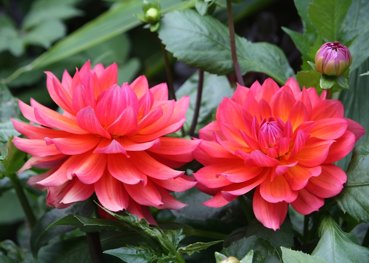 I would commend Dahlia 'Firepot' to Andy for its compact habit and incredibly vibrant flowers