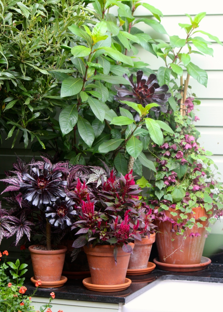A. 'Zwartkop' is readily propagated, so you can be sure of a supply of small plants to replace or give away