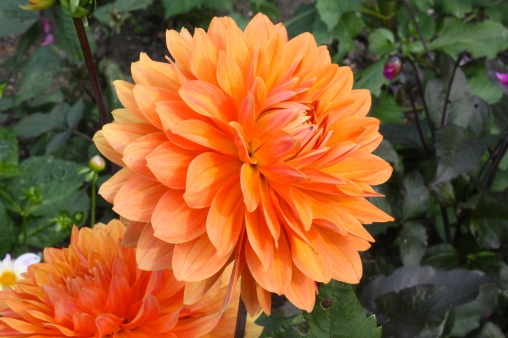 An unnamed dahlia with flowers in the 'decorative' class