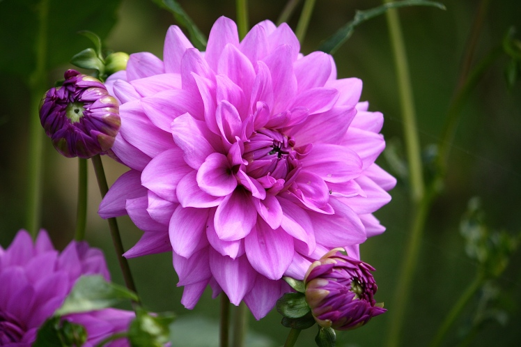 The lilac flowers of D. 'Blue Boy' combine well with pinks, blues and silvers