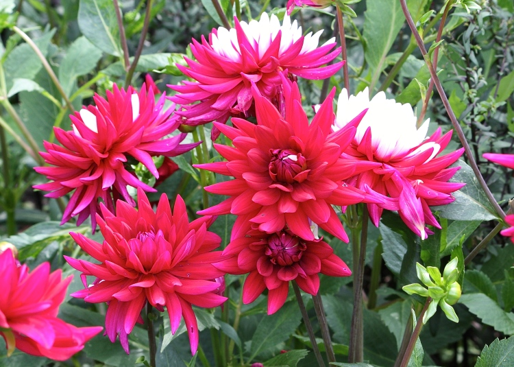 Dahlia 'Rebecca's World' is a curiosity, displaying random combinations of red and white in its blooms