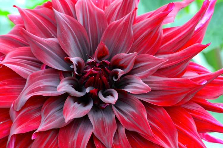 The dark, velvety blooms of Dahlia 'Black Monarch' echo the interior of a West End theatre