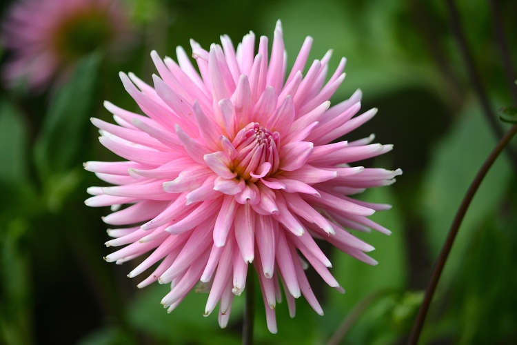 Pink perfection, a fine cactus-flowered hybrid