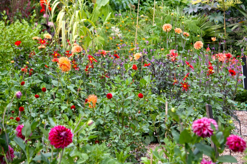 At The Salutation, a trial  bed demonstrates the dahlia's huge range of colour and flower shape