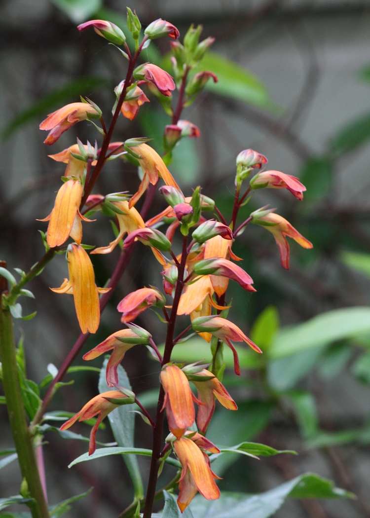 A long way from its home in Tenerife, Digitalis canariensis flowers for the first time