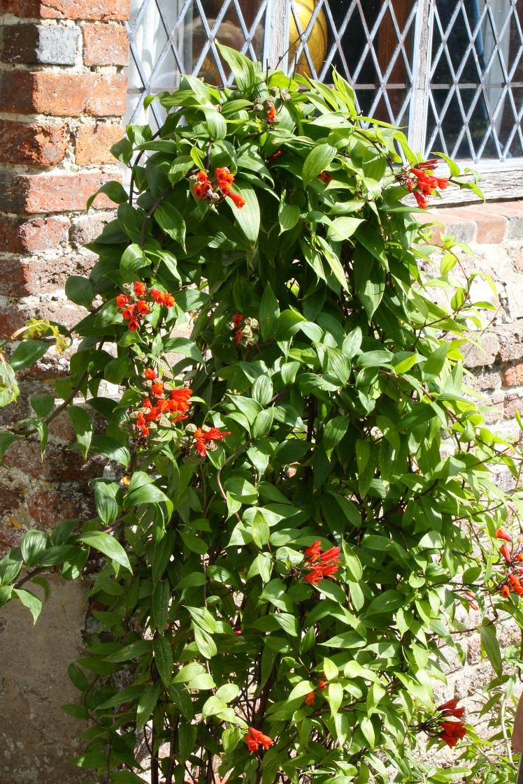 A relative of the alstromerias, Bomarea caldasii has a climbing habit