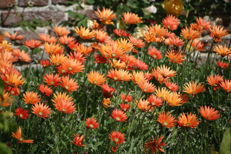 Harold Nicolson bought one plant each of Arctotis x hybrida 'Mahogany' and 'Flame' at an RHS show in 1959. They now create a bold sweep either side of the South Cottage front door.
