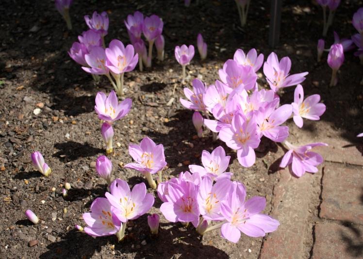 Colchicum autumnale, the meadow saffron, in Sissinghurst's herb garden