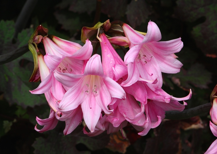 Amaryllis belladonna, Sissinghurst, August 2014