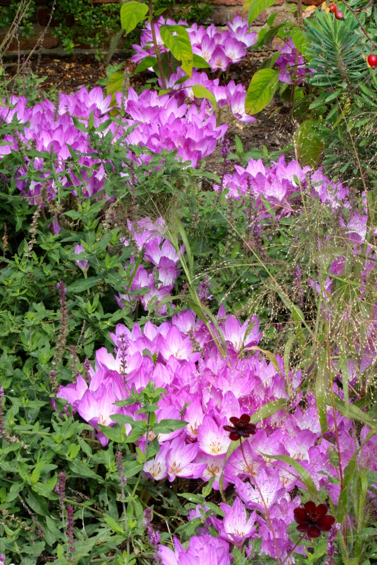 Forming expansive clumps, colchicums love a  warm, dry, sheltered spot