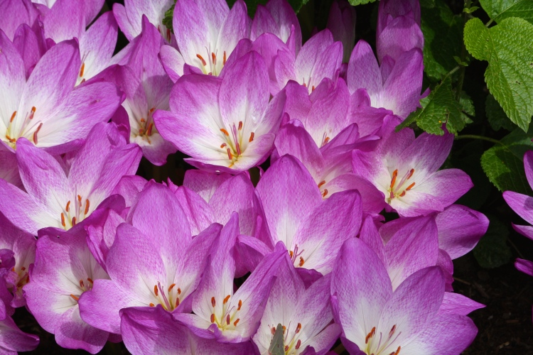 Colchicum specious sports pinkish purple flowers with bright white throats and yellow stamens