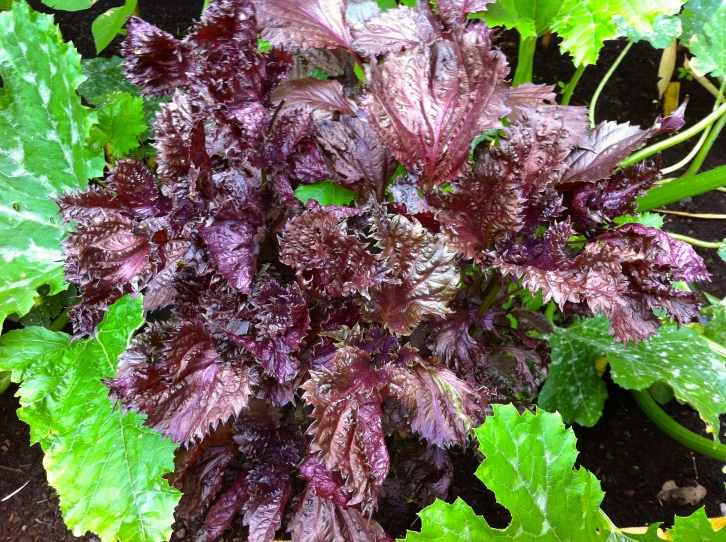 Known as shiso, or 'beefsteak plant', Perilla frutescens var. crispa makes an unusual addition to salads and stir-fries.