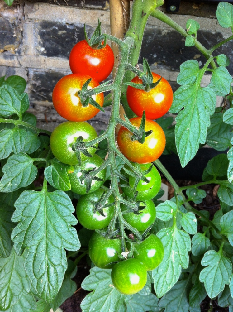 The ripening fruit of tomato 'Sweet Million'