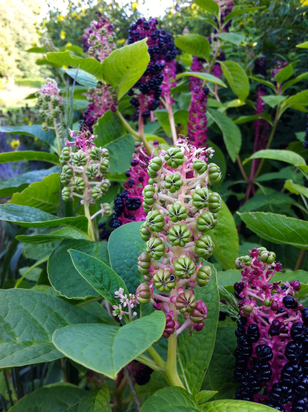 Phytolacca polyandra, Odney Club, August 2014