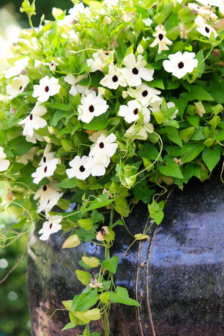 The white form of Thunbergia alata cascades from a glazed urn beneath the White Garden's arbor