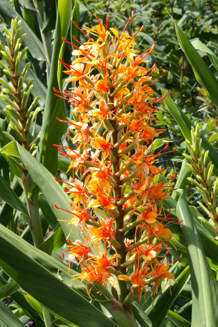 Tantalising Hedychium 'Tara' has strong stems and fragrant flowers