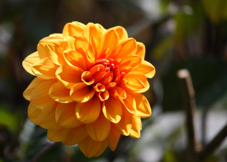 Stalwart Dahlia 'David Howard' is a tall, vigorous variety suitable for the middle or back of a border