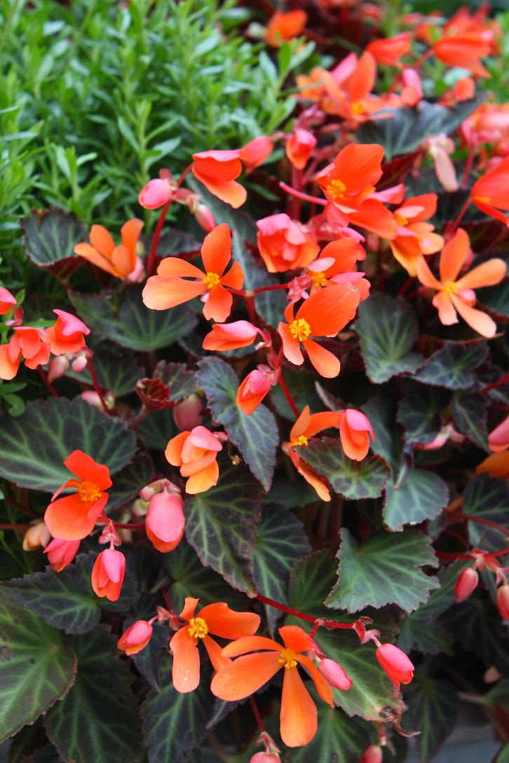 Begonia 'Glowing Embers' flowers non-stop from June until the first frosts
