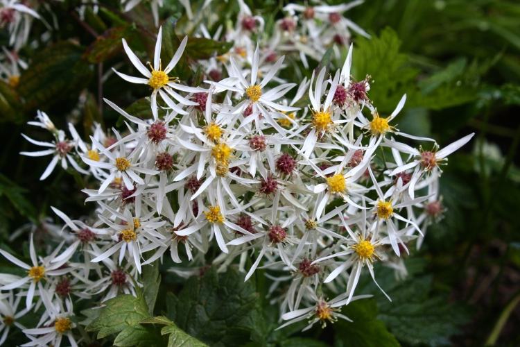 I wouldn't be without Aster divaricatus, a plant with tumbling, wiry stems which cover a multitude of sins in late summer