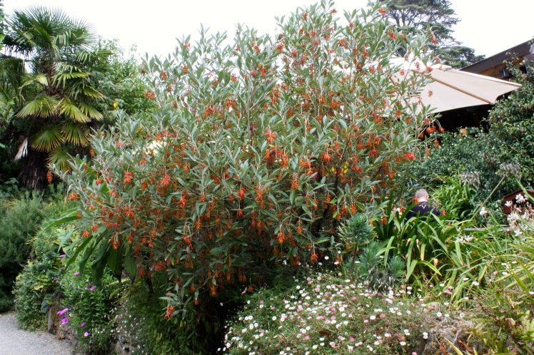 Grevillea victoriae appreciates a well-drained position with exposure to the sun