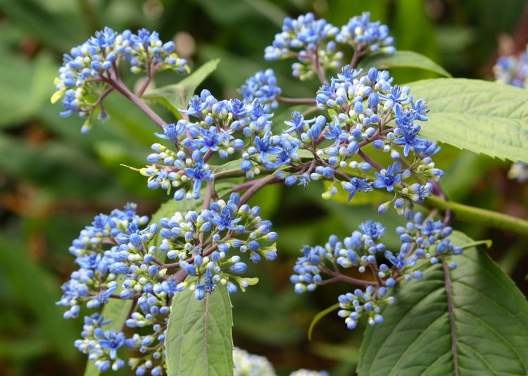 An unusual hydrangea without the usual large petals