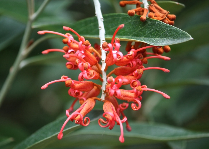Several bird species are known to feed on the nectar of Grevillea victoriae