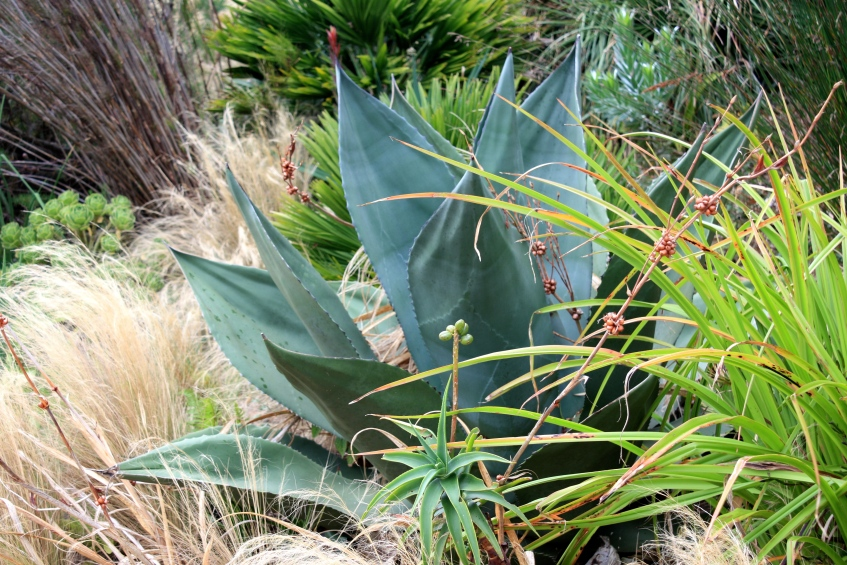Agave and Stipa, Tremenheere Sculpture Gardens, Cornwall, September 2014
