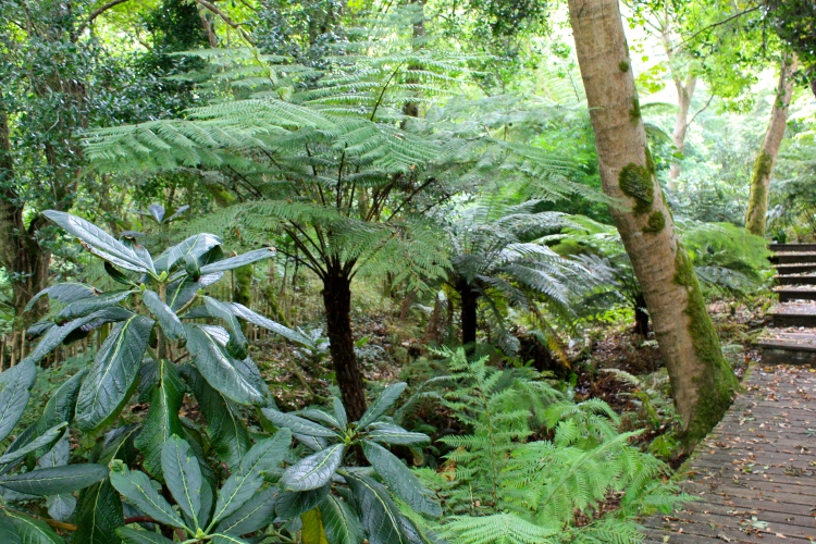 Tender cyatheas grow tall and luxuriant in the dappled shelter of Tremenheere's exotic woodland