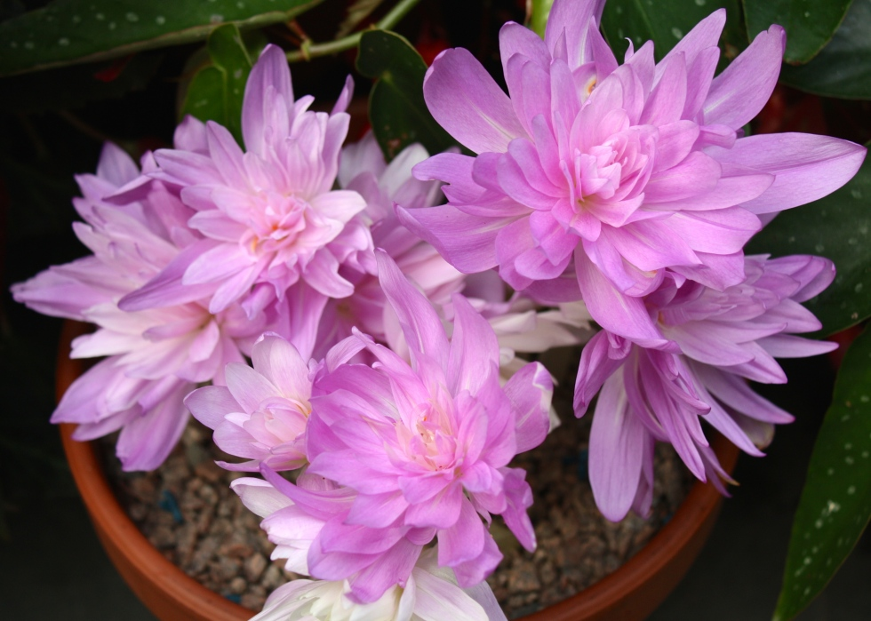 Growing Colchicum 'Waterlily' in pots helps to protect the blooms from slugs and rainsplashes