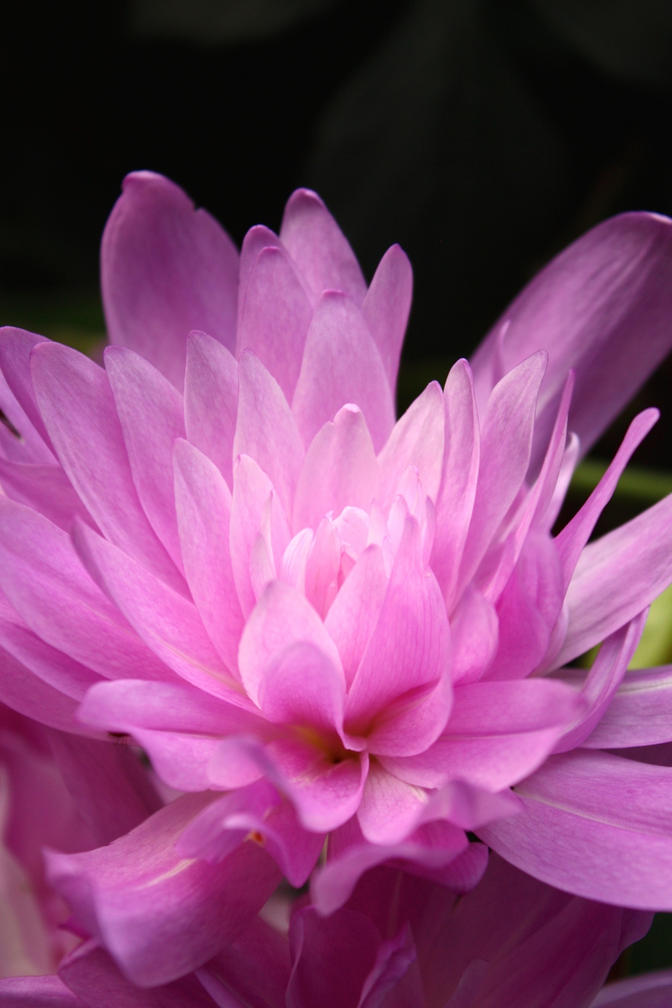 The generously double flowers of Colchicum 'Waterlily' resemble a dahlia more than a waterlily